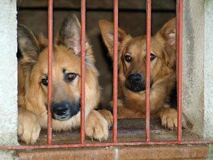 Gossos en una finestra de Can Comatei