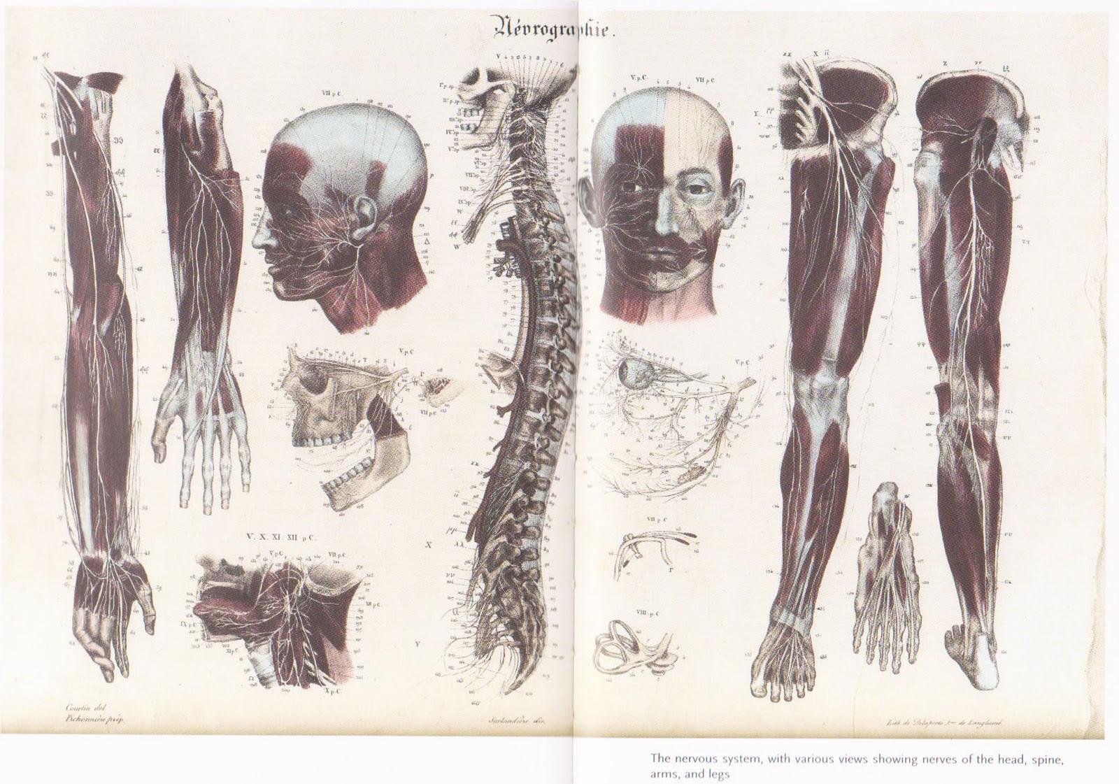 Wallpapermodelling Wallpaper Anatomy Human