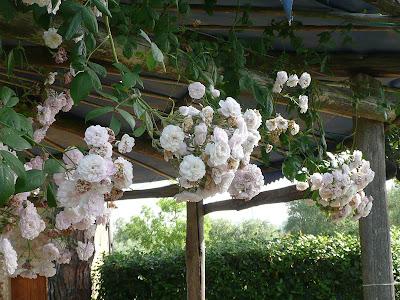 rose rosa pallido, fioritura
