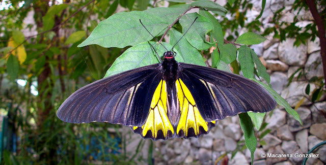 Golden Birdwing, Troides aeacus. JARDÍN DE MARIPOSAS, BANGKOK. TAILANDIA
