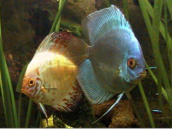 Vet metodo de reproduccion de algunos peces ornamentales for La reproduccion de los peces