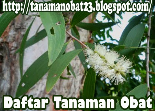 Tanaman Obat Kayu Putih (Meialeuca leucadendra