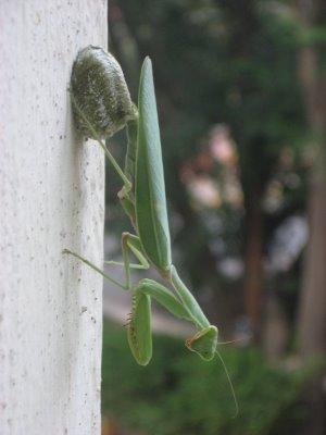 Praying Mantis Eggs Temperate Clima...