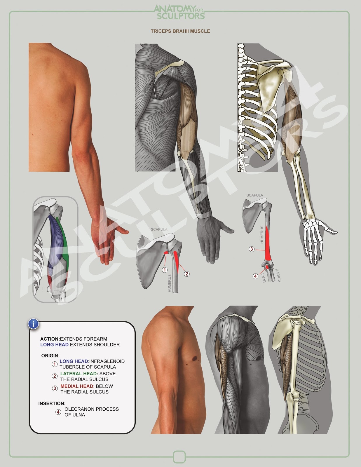 TRICEPS BRACHII MUSCLE | ANATOMY NEXT, the artist platform