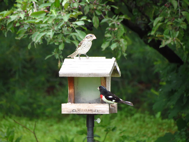 rose breasted grosbeaks on feeder male and female two