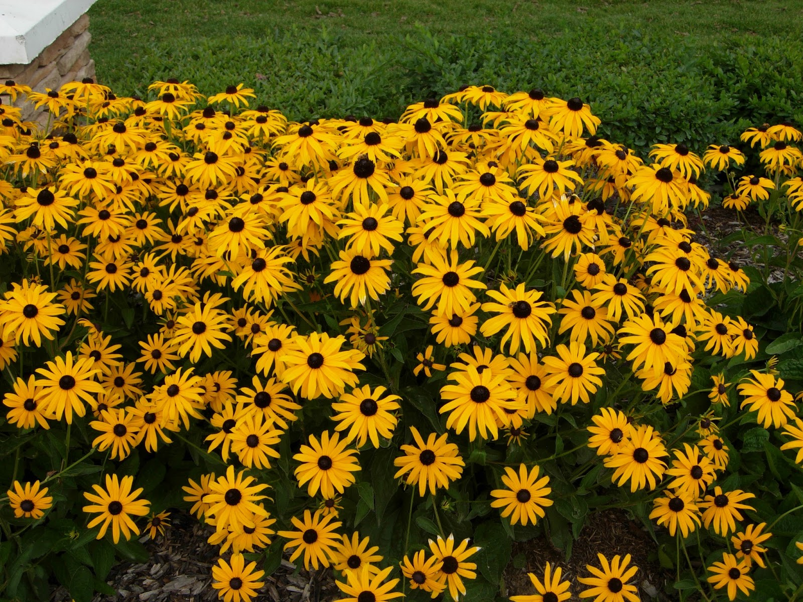 Echoes of eden dayle king searle blooming now black Black eyed susans