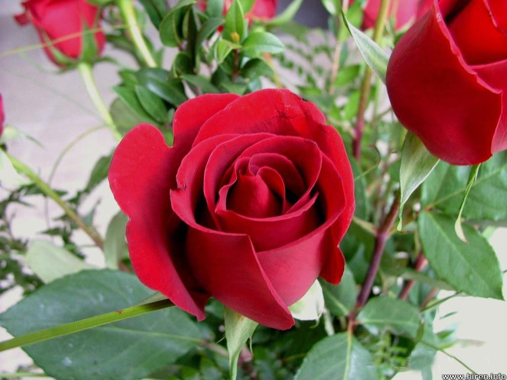 Free Flowers Photo And Wallpapers Rose Flower Wallpapers New Red