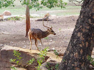 Spotted Deer ready for Jump