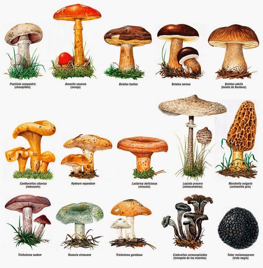 Pulido s nchez biotech el reino fungi - Tipos de hongos en la pared ...