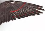 Modo de cortar asas de calopsitas...