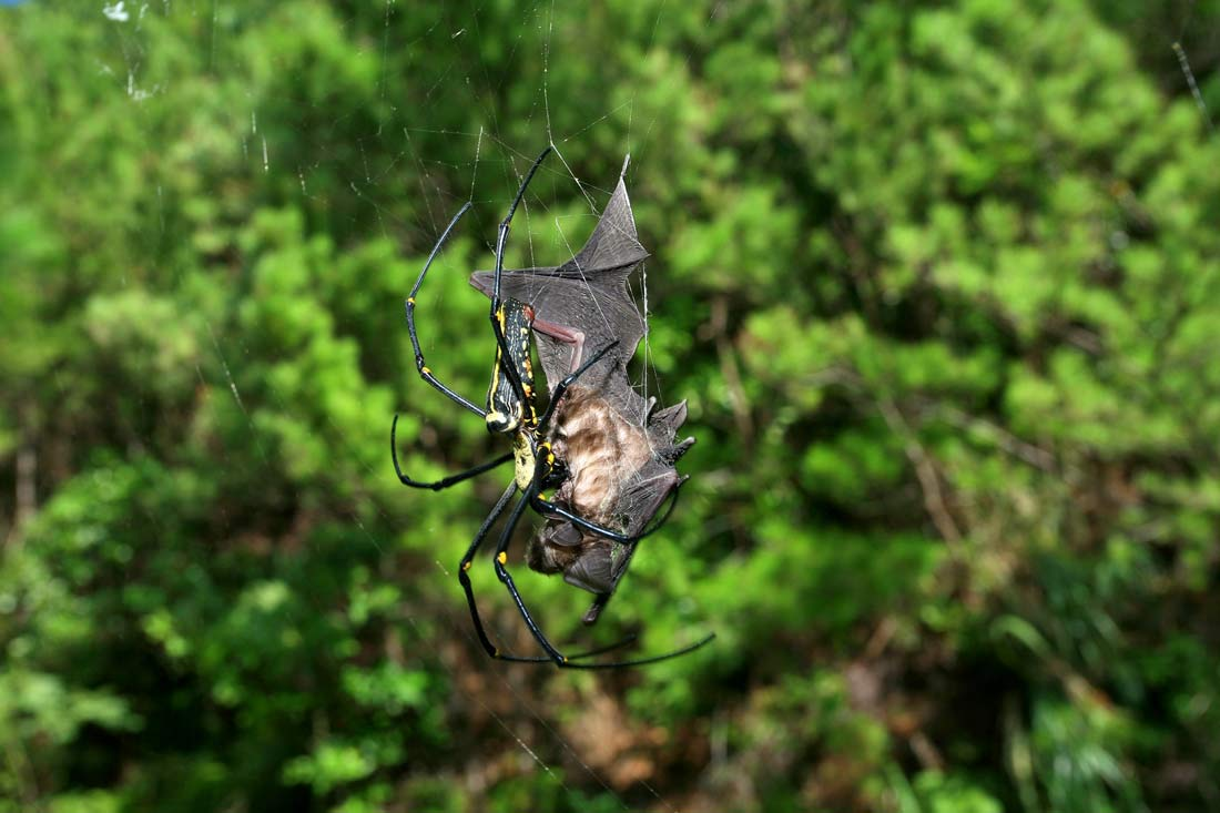 modern spiders Orb weaver spiders make up the most common group of spiders and are known for the spiral wheel-shaped webs that they create their appearance will depend on the specific species the spinybacked orb weaver is a common species found in our area.