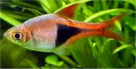 Colorful freshwater community fish harlequin rasboras for Freshwater community fish