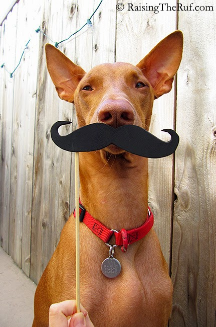 funny dog with mustasche