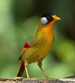 Burung Pancawarna-Membahas tentang-Makanan Yang Dibutuhkan-Keunggulan Burung Pancawarna-Kelamahan Burung Pancawarna  Burung pancawarna yang bernamakan latin (Pitta Guajana) memounyai bulu dengan perpaduan 5 warna yaitu kuning, orangnye, coklat, biru, dan hitam.  Makanan Yang Dibutuhkan Makanan kesukaannya adalah buah-buahan, sehingga untuk beralih makanan ke vour pun mudah. Tetapi untuk urusan air minum, Burung Pancawarna sangatlah boros, pemberian air harus di perhatikan Burung Pancawarna-Membahas tentang-Makanan Yang Dibutuhkan-Keunggulan Burung Pancawarna-Kelamahan Burung Pancawarna  Burung pancawarna yang bernamakan latin (Pitta Guajana) memounyai bulu dengan perpaduan 5 warna yaitu kuning, orangnye, coklat, biru, dan hitam.  Makanan Yang Dibutuhkan Makanan kesukaannya adalah buah-buahan, sehingga untuk beralih makanan ke vour pun mudah. Tetapi untuk urusan air minum, Burung Pancawarna sangatlah boros, pemberian air harus di perhatikan   Keunggulan Burung Pancawarna -Burung Pancawarna sangat bagus buat masteran burung kenari -Suara kicaunya khas, keras namun tidak memekatkan telinga  Kelamahan Burung Pancawarna -Suka minum air terlalubanyak, sehingga bisa mati -Kondisi fisik lemah -Taumatis  Keunggulan Burung Pancawarna -Burung Pancawarna sangat bagus buat masteran burung kenari -Suara kicaunya khas, keras namun tidak memekatkan telinga Kelamahan Burung Pancawarna -Suka minum air terlalubanyak, sehingga bisa mati -Kondisi fisik lemah -Taumatis