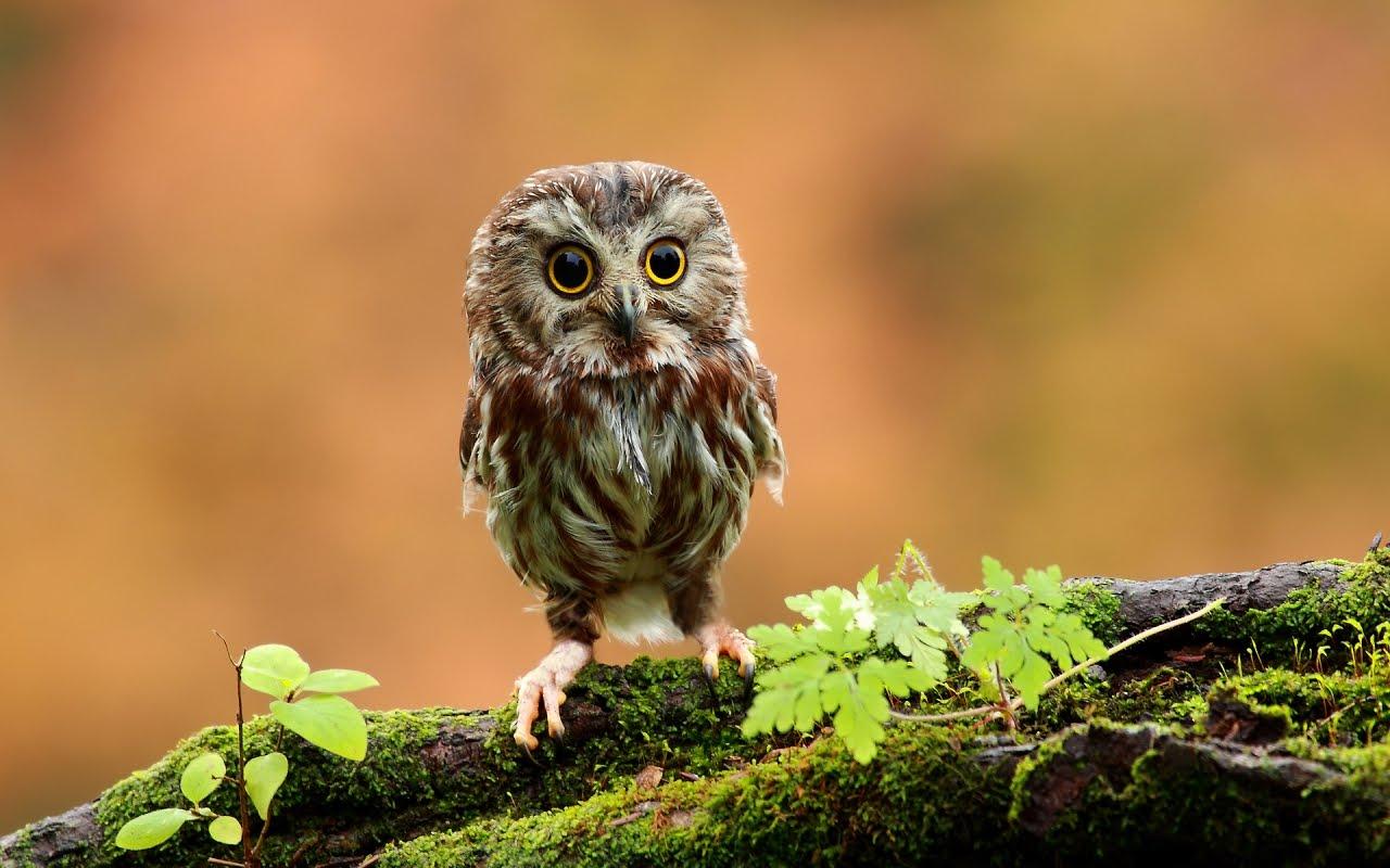 Сладко бебе сова / Cute baby owl, HD Wallpaper