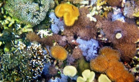 Soft coral di Bangsring, Banyuwangi.