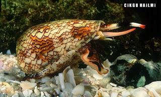 a98564 ConeSnail Gambar Haiwan Paling Cantik Tapi Paling Bahaya Di Dunia