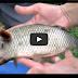 Gempar!.. Ikan Berkepala Khinzir Ditemui Penduduk