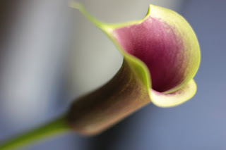 The deep-throated calla lily with its deeply embedded pollen stamens makes an excellent choice for those with allergies .