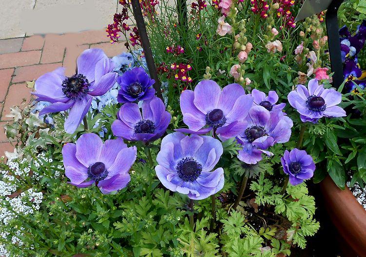 Persian Blue Allium