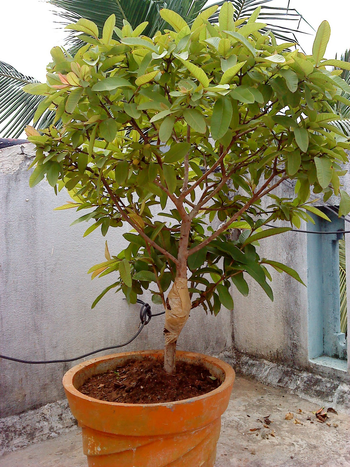 Indian Bonsai The Twin Brothers Guava Tree Update