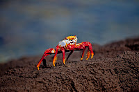 Sally Lightfoot Crab at Isla Lobos, San Cristobal, Galapagos