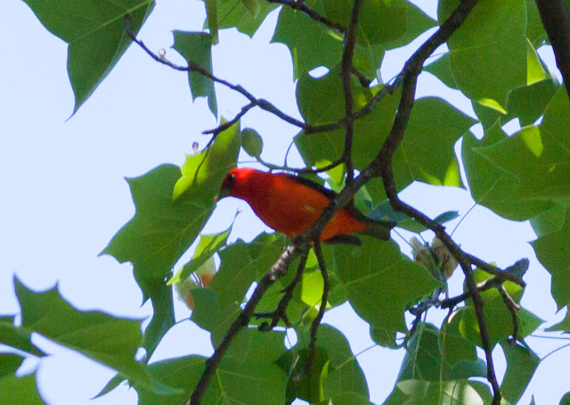 Scarlet Tanager - Prospect Park, New York