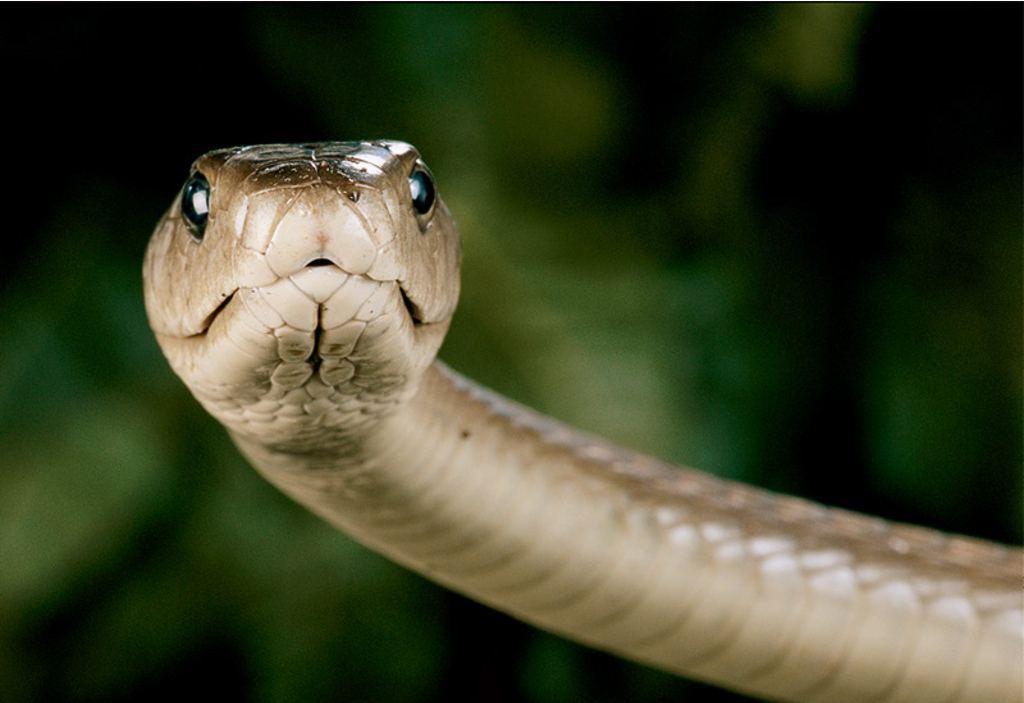yellow mamba snake - photo #22