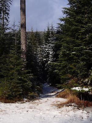 Babia Góra, Orawa, Lipnica Wielka, grudniowy las, grzyby w grudniu, Wodnicha modrzewiowa Hygrophorus lucorum, pięknoróg największy (Calocera viscosa), Pniarek obrzeżony - Fomitopsis pinicola