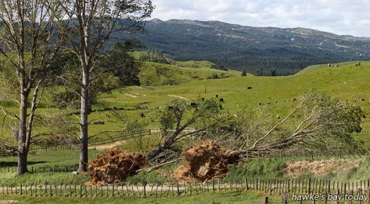 Two of the trees which blew down in high winds on Heays Access Rd, a no exit road to the popular Boundary Stream and Shine Falls, Putorino, Northern Hawke's Bay. photograph
