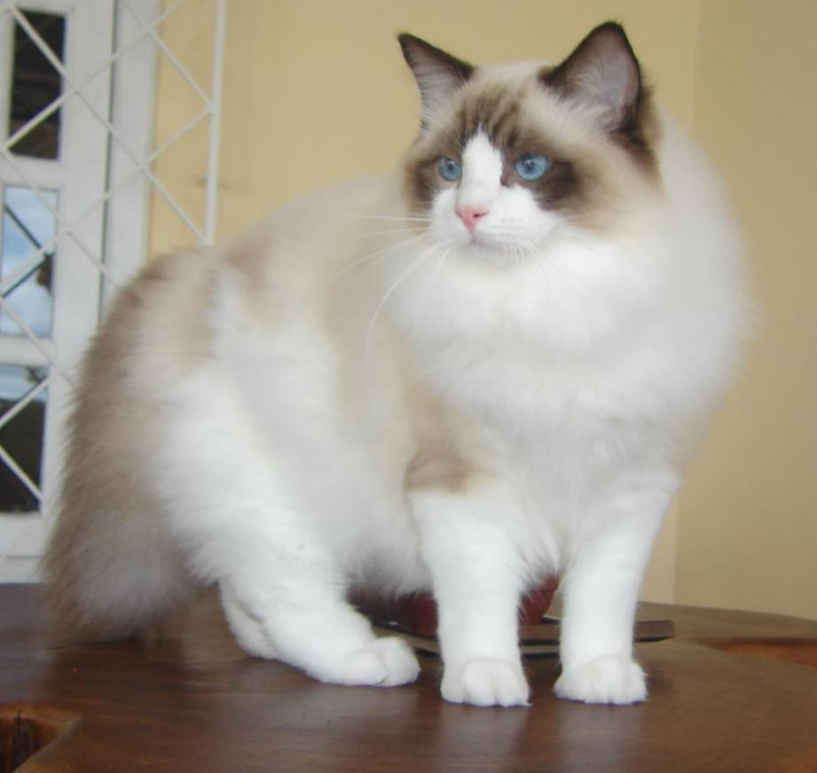 ragdoll cat pictures Photo