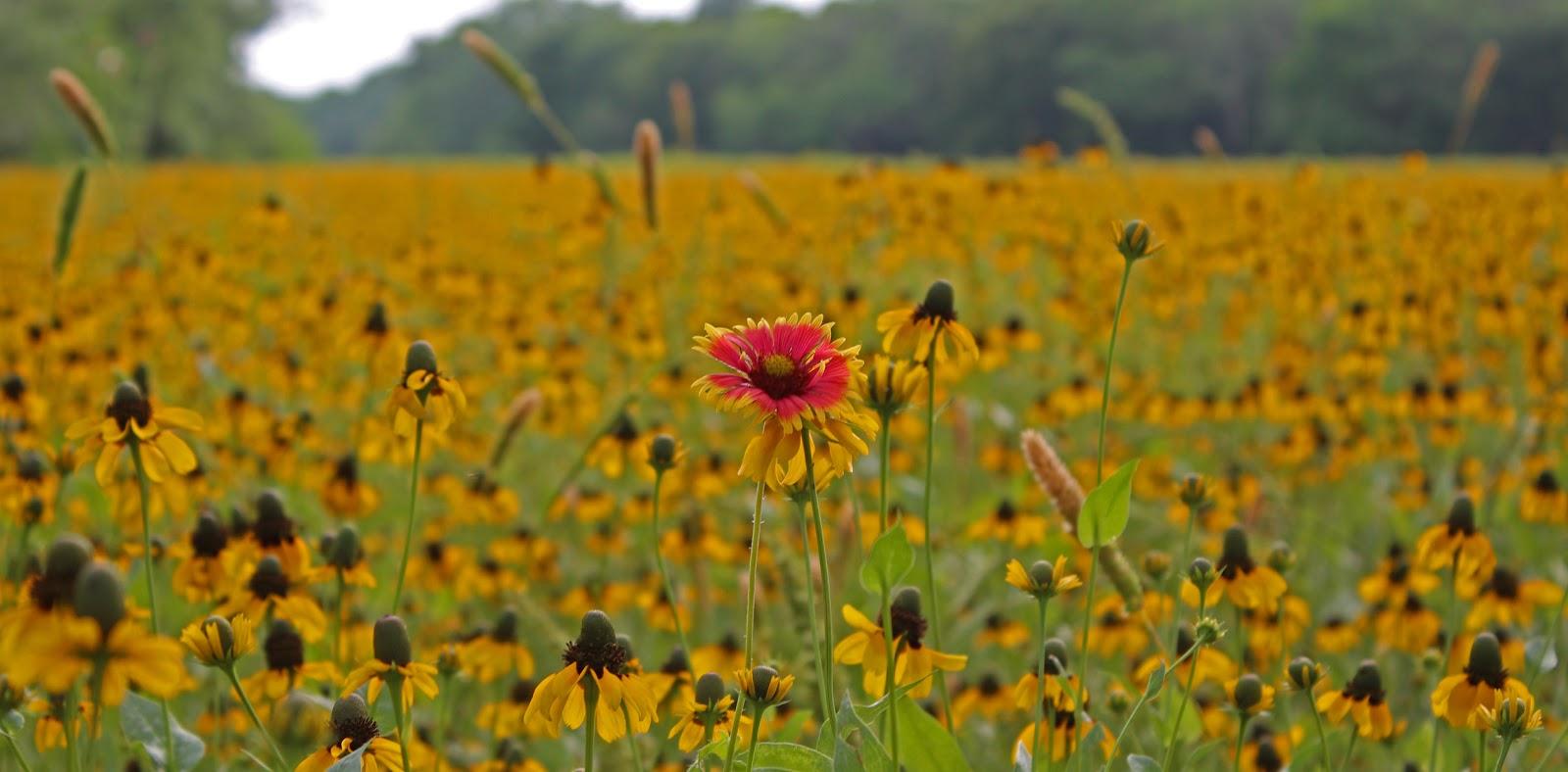Dallas trinity trails the largest wildflower meadow in dallas the largest wildflower meadow in dallas mightylinksfo