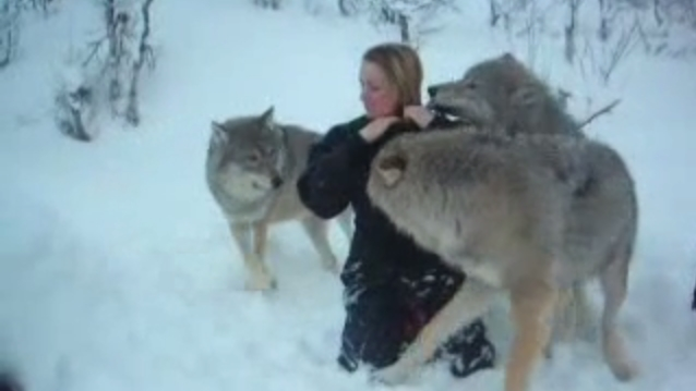 A couple of socialized wolves play with caretakers in Norway (VIDEO)