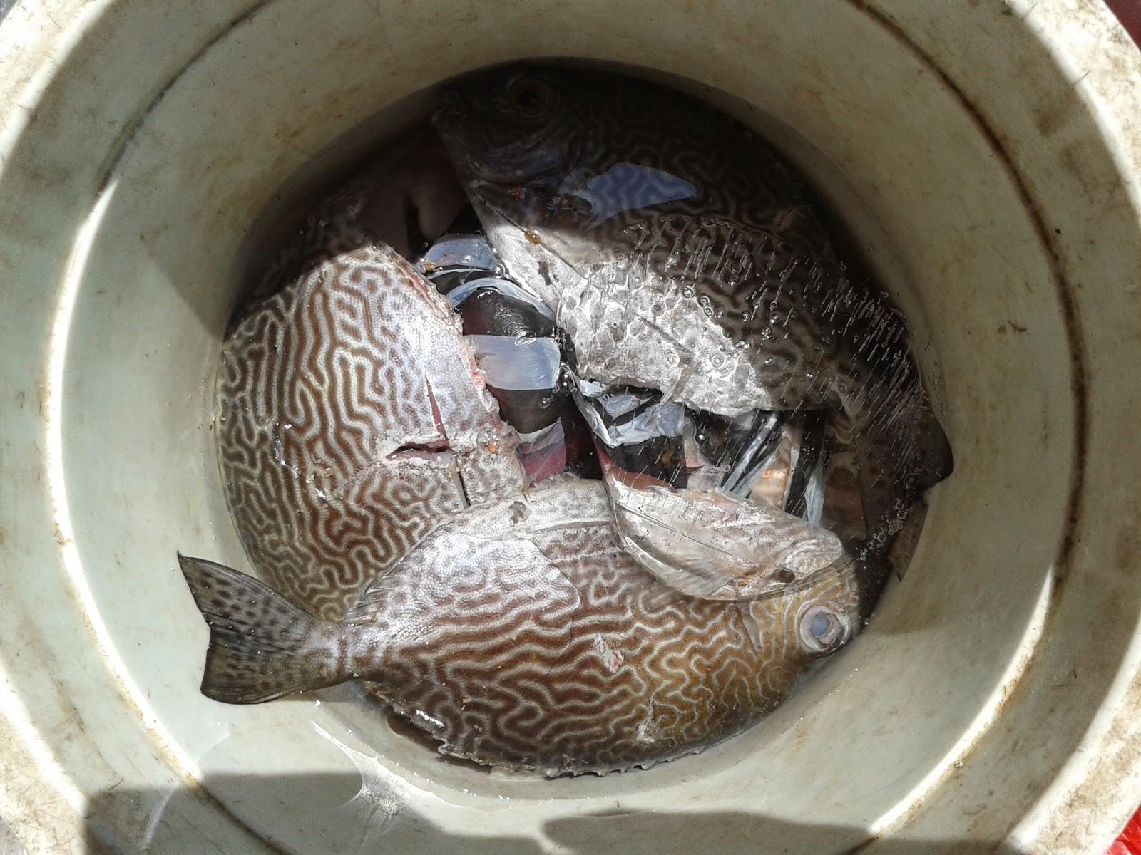 Ikan Semadar/Baronang