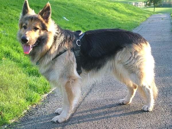 German Shepherd Pet Dogs | Fun Animals Wiki, Videos, Pictures, Stories German Shepherd Dog Reviews