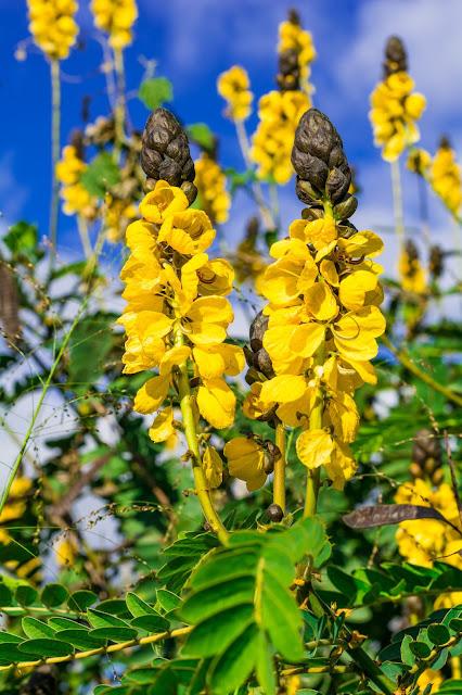 цветы Австралии, желтый цветок