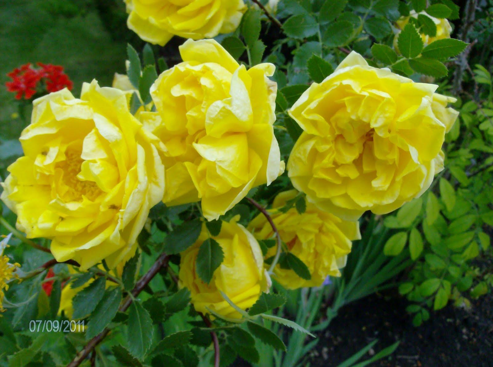 Hiawatha House: Red's Yellow Rose Bush