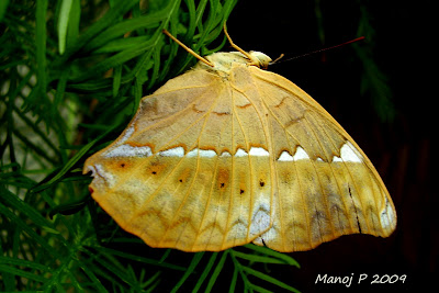 Tamil Yeoman Butterfly