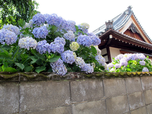 Kyoto Rainy Season Hydrangea