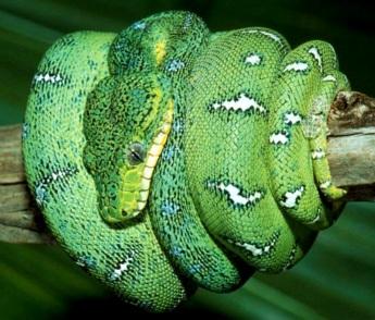 Serpiente verde enrollada en una rama