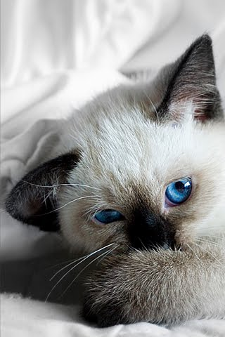 Cat Ipod Wallpaper