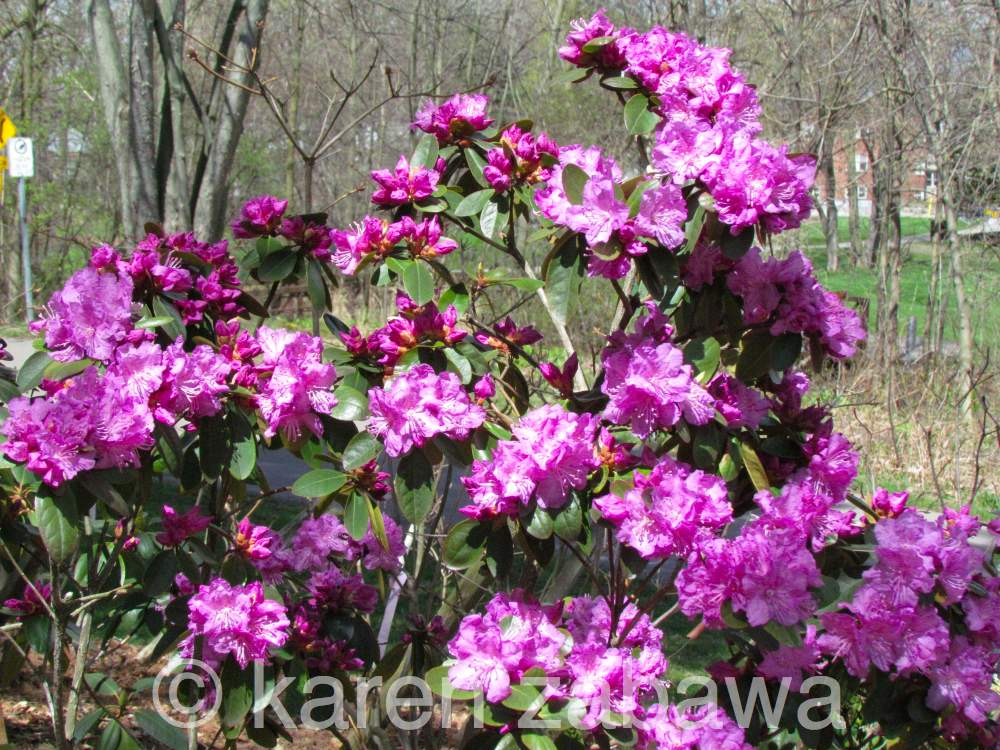 Brueckner rhododendron gardens pjm rhododendrons blooming for How to care for rhododendrons after blooming