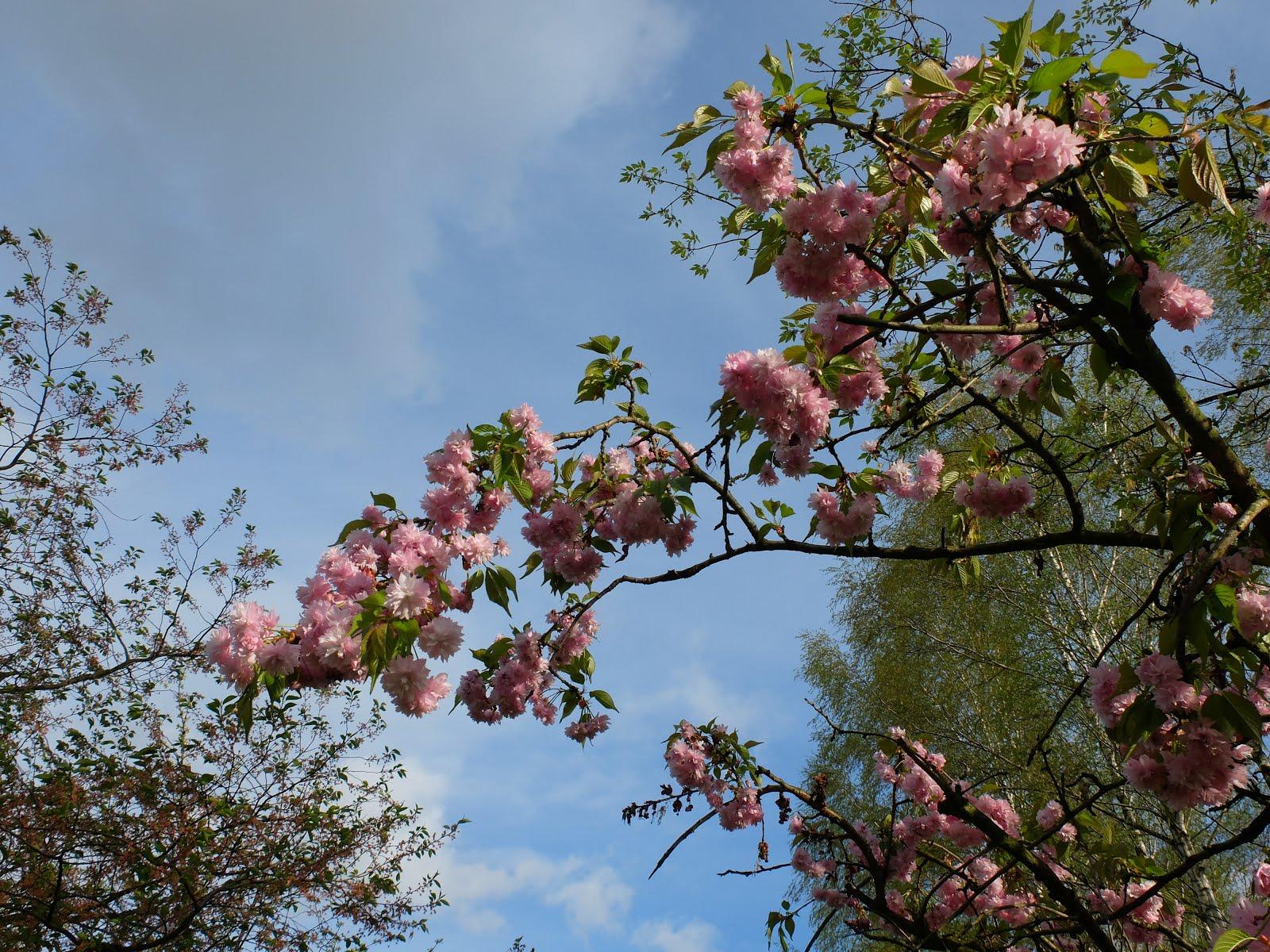 Frühlingsblüten in Berlin-Pankow