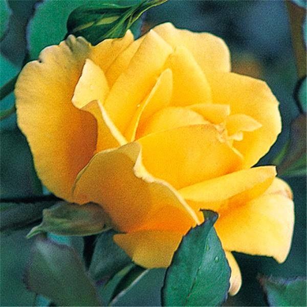 Uma Rosa é Uma Rosa!...