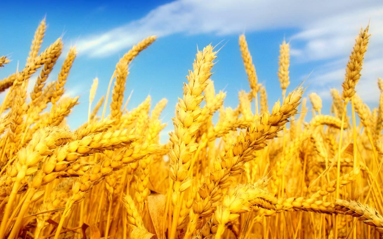 """Результат пошуку зображень за запитом """"пшеничний лан"""""""