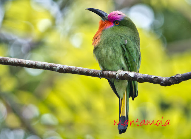 Red Bearded Bee Eater