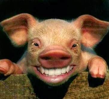babi bukan hewan kotor