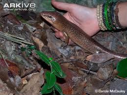 Galliwasp de Montserrat Diploglossus montisserrati