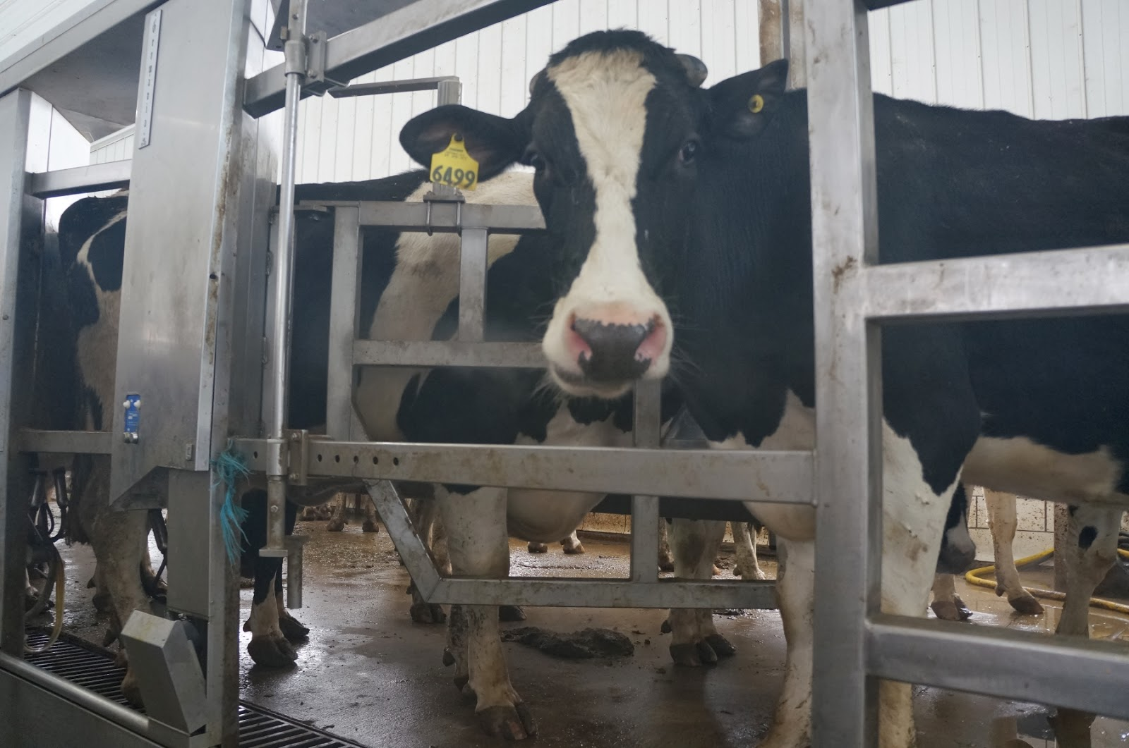 Mommy In The Milking Parlor