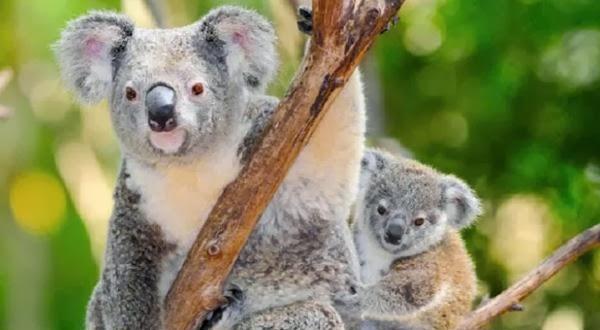Koala Ditemukan di Blue Mountain Oleh Arkeologi